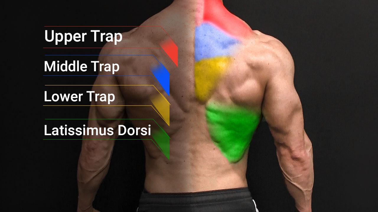 back muscle anatomy including upper middle and lower trapezius and latissimus dorsi