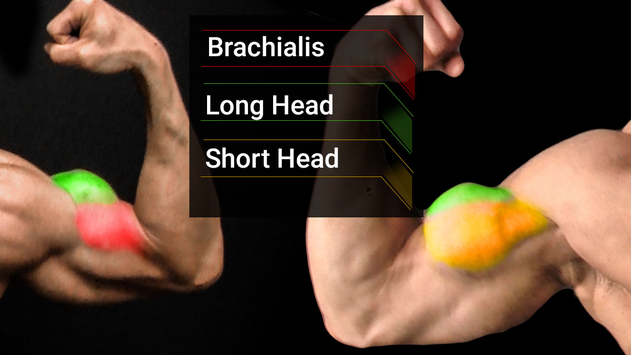 bicep muscle anatomy including brachialis, long head and short head