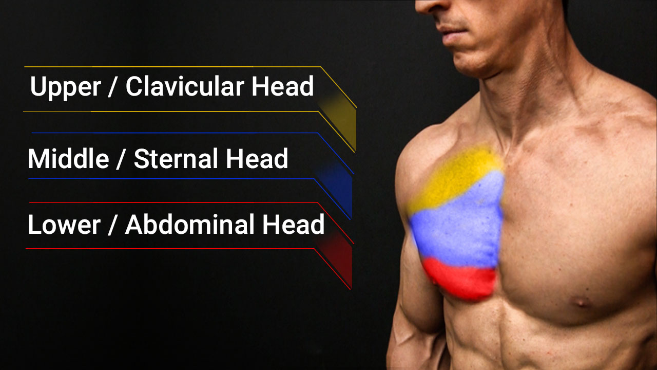chest pec muscles anatomy including clavicular head, sternal and abdominal head
