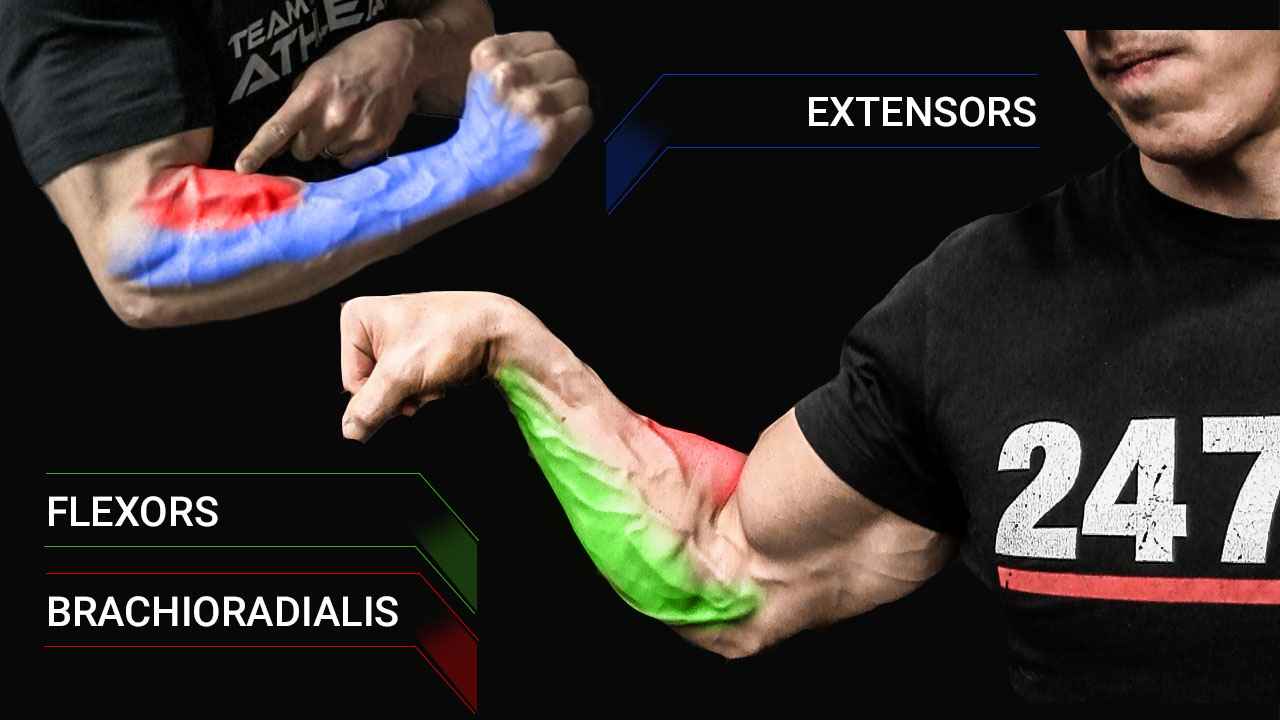 forearm muscles anatomy including flexors brachioradialis and extensors