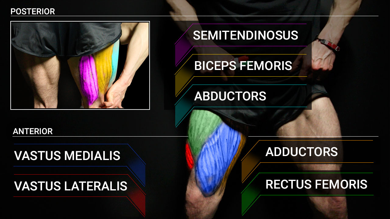 leg muscles anatomy including vastus medialis and lateralis, adductors, abductors, rectus femoris, semitendinosis, biceps femoris