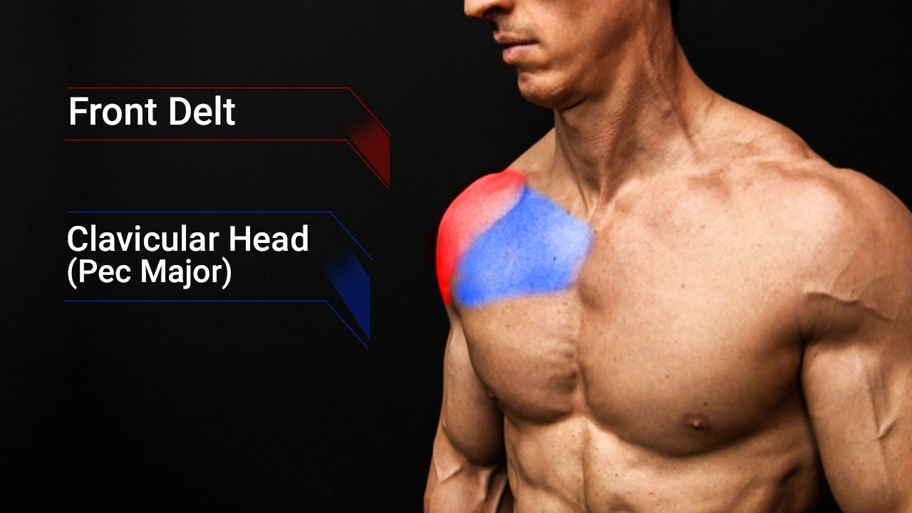 upper chest muscles anatomy including front deltoid and pec major clavicular head