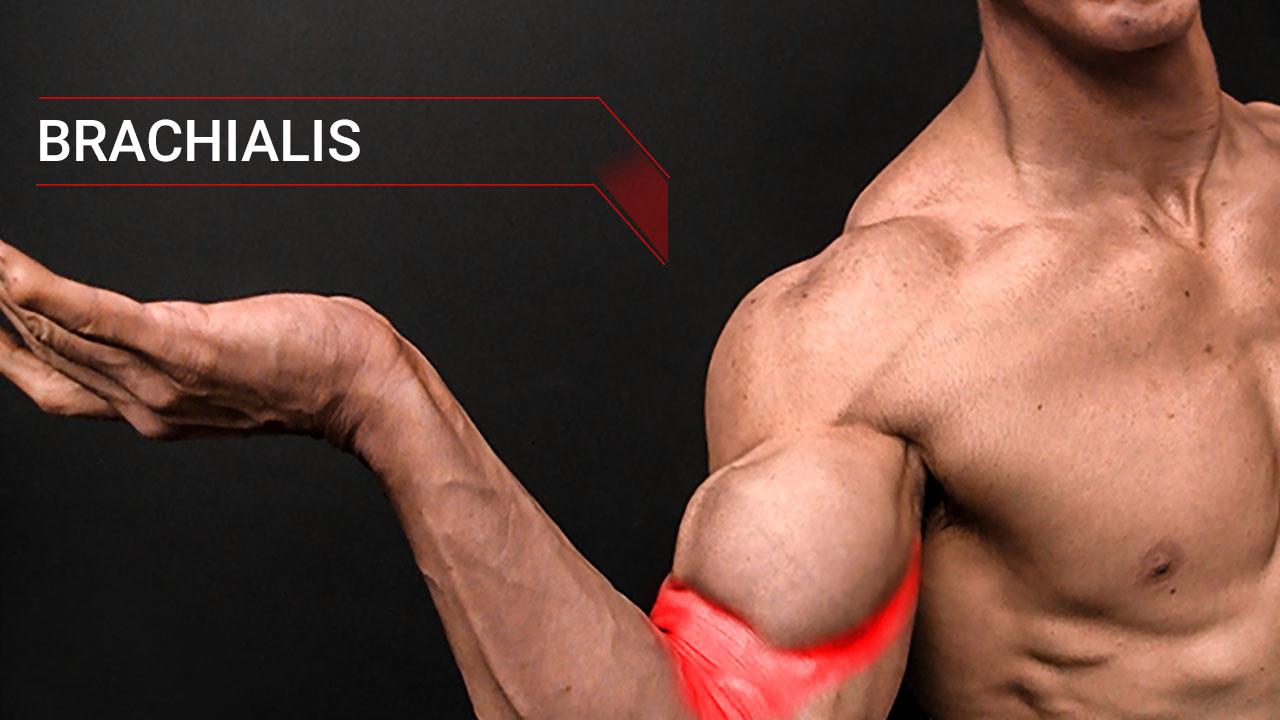 biceps muscle brachialis muscle anatomy