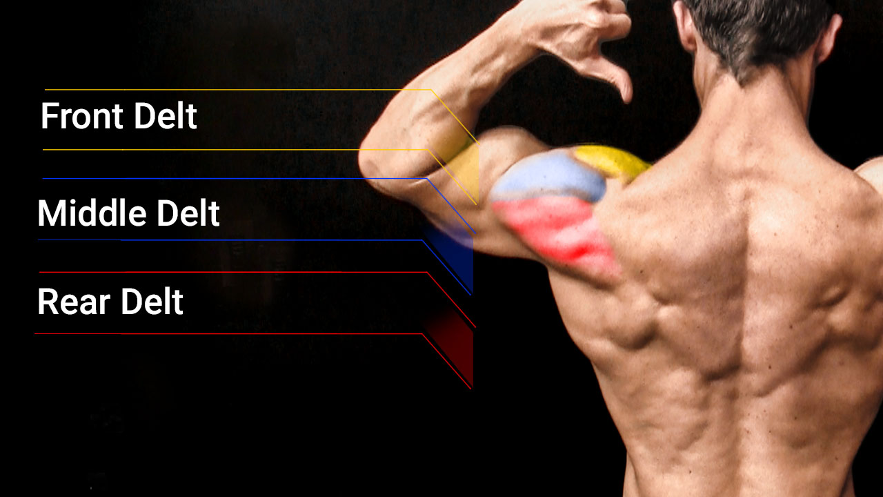 shoulder muscle anatomy including front, middle and rear deltoid muscle