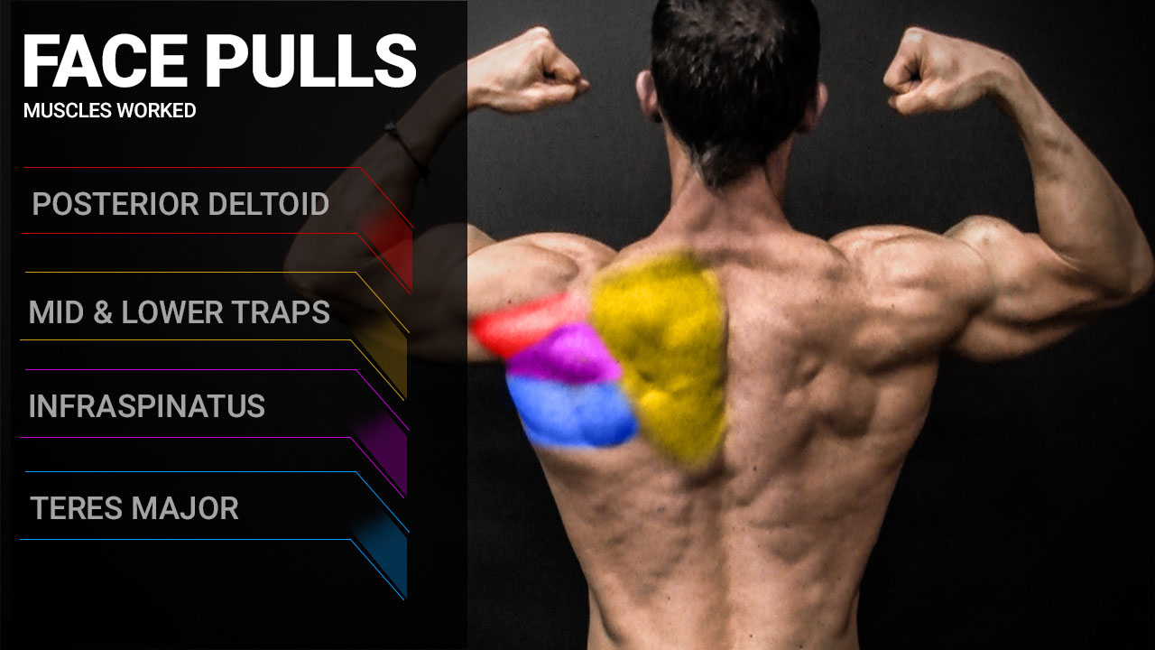 face pulls muscles worked anatomy including posterior deltoid, mid and lower traps, infraspinatus and teres major