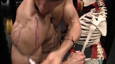 middle deltoid muscle