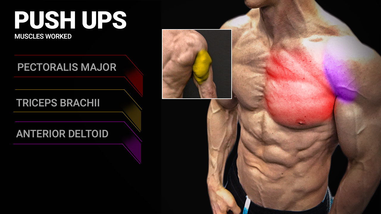 pushups muscles worked anatomy including pectoralis major, triceps brachii and anterior deltoid