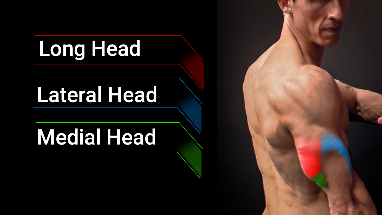 triceps muscles anatomy including long head, lateral head and medial head