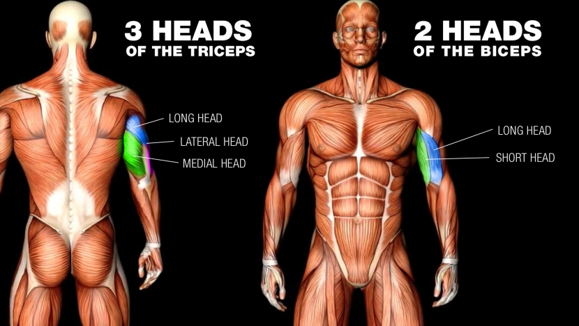 triceps and biceps muscle heads diagram